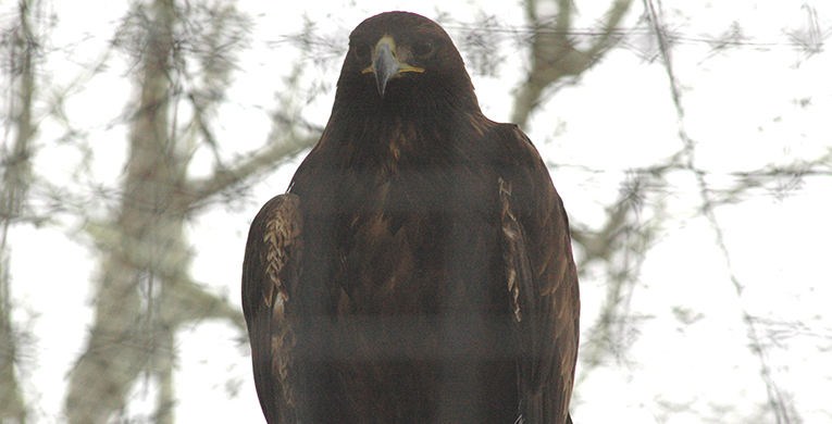 Zoo welcomes second golden eagle