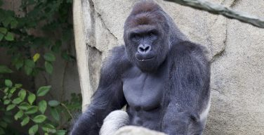 The meme is dead: Harambe write-ins not funny